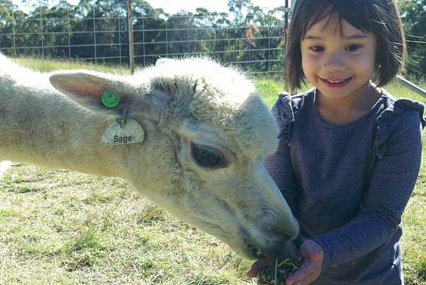 alpaca feeding time